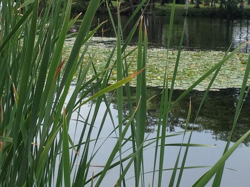 Charles River Boston  Lilly pads and grass